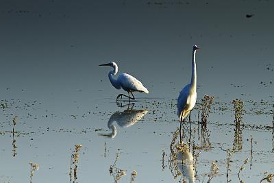 Early Morning Egrets 2-Alan Hausenflock-Photographic Print