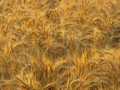 Early Morning Light on a Wheat Field Ready for Harvesting, Triticum Aestivum-Adam Jones-Photographic Print