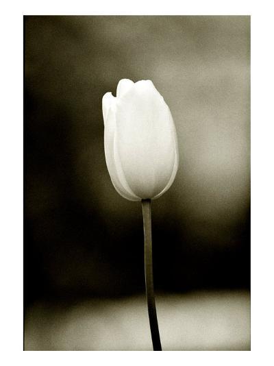 Early Morning Tulip-Jerry Koontz-Giclee Print