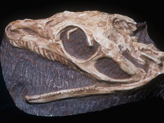 Early Reptile Fossil (Aerosaurus Sp.) Early Permian, New Mexico, USA-Ken Lucas-Photographic Print