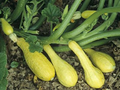 Early Summer Crookneck Squash-David Cavagnaro-Photographic Print