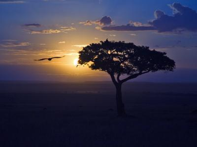 Early Sunrise on Vulture Gliding in Silhouetted Tree of the Maasai Mara, Kenya-Joe Restuccia III-Photographic Print