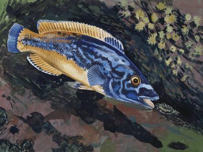East Atlantic Peacock Wrasse (Crenilabrus Pavo or Symphodus Tinca), Labridae--Giclee Print
