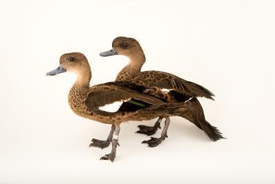 East Indian Grey Teal Ducks, Anas Gibberifrons, at Sylvan Heights Bird Park-Joel Sartore-Photographic Print