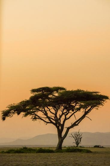 East Kenya, Amboseli NP, Sunset, Acacia Tree with Weaver Nests-Alison Jones-Photographic Print