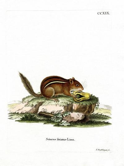 Eastern American Chipmunk--Giclee Print