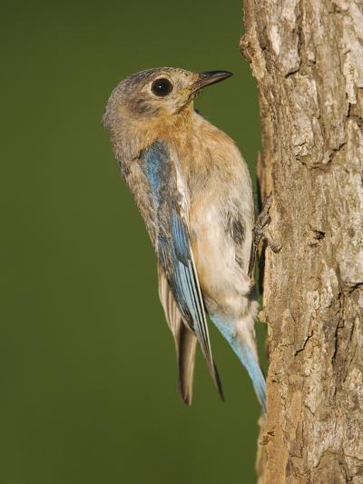 Eastern Bluebird at Nesting Cavity, Willacy County, Rio Grande Valley, Texas, USA-Rolf Nussbaumer-Photographic Print