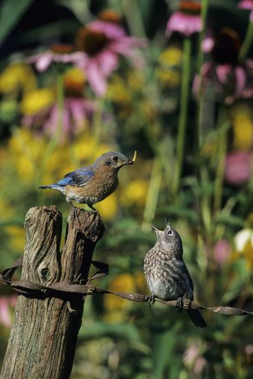 Eastern Bluebird Female Feeding Fledgling on Fence Near Flower Garden, Marion, Il-Richard and Susan Day-Photographic Print