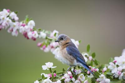 Eastern Bluebird Female in Crabapple Tree, Marion, Illinois, Usa-Richard ans Susan Day-Photographic Print