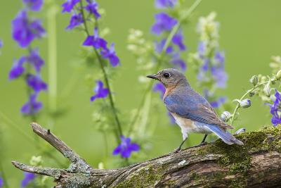 Eastern Bluebird Female in Flower Garden, Marion County, Il-Richard and Susan Day-Photographic Print