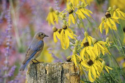 https://imgc.artprintimages.com/img/print/eastern-bluebird-female-on-fence-post-near-flower-garden-marion-il_u-l-q12taax0.jpg?p=0