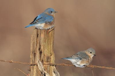 Eastern Bluebird Male and Female in Winter--Photographic Print