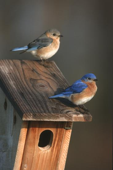 Eastern Bluebird Male and Female on Peterson Nest Box Marion County, Illinois-Richard and Susan Day-Photographic Print