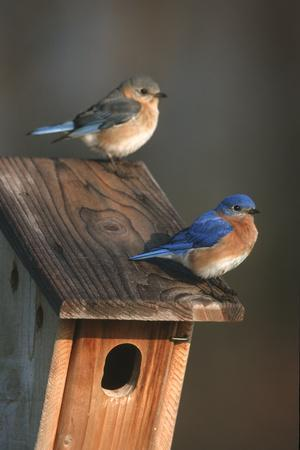 https://imgc.artprintimages.com/img/print/eastern-bluebird-male-and-female-on-peterson-nest-box-marion-county-illinois_u-l-q12tad20.jpg?p=0