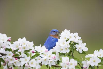 Eastern Bluebird Male in Crabapple Tree, Marion, Illinois, Usa-Richard ans Susan Day-Photographic Print