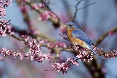 Eastern Bluebird Male in Eastern Redbud, Marion, Illinois, Usa-Richard ans Susan Day-Photographic Print