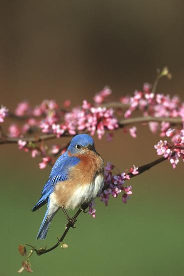 Eastern Bluebird Male in Redbud Tree in Spring Marion County, Illinois-Richard and Susan Day-Photographic Print