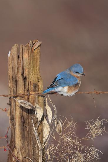 Eastern Bluebird Male in Winter--Photographic Print