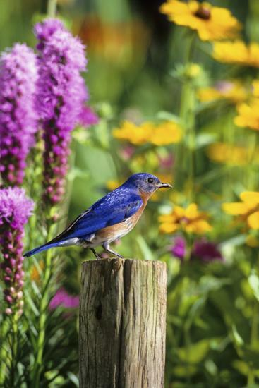 Eastern Bluebird Male on Fence Post Marion County, Illinois-Richard and Susan Day-Photographic Print