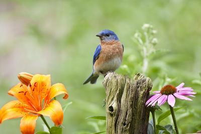Eastern Bluebird Male on Fence Post, Marion, Illinois, Usa-Richard ans Susan Day-Photographic Print