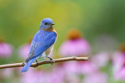 Eastern Bluebird Male on Perch, Marion, Illinois, Usa-Richard ans Susan Day-Photographic Print
