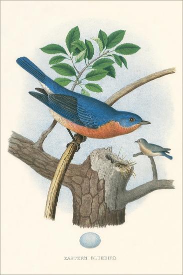 Eastern Bluebird Nest and Eggs--Art Print