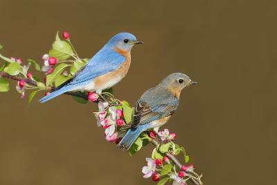 Eastern Bluebird Pair--Photographic Print