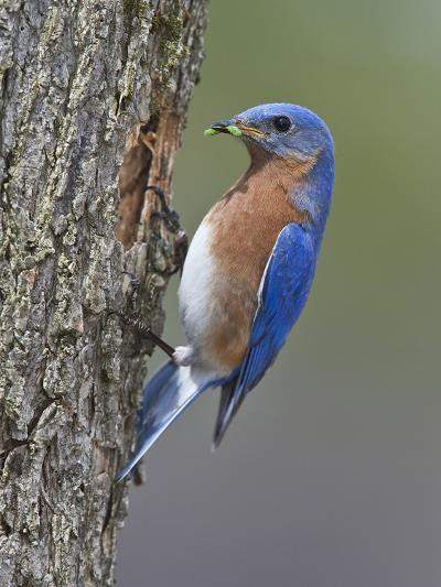 Eastern Bluebird with Caterpillar Prey in its Bill at its Nest Hole in a Tree Trunk (Sialia Sialis)-Gustav Verderber-Photographic Print