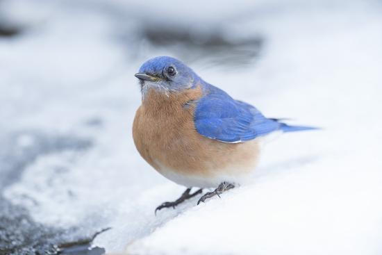 Eastern Bluebird-Gary Carter-Photographic Print