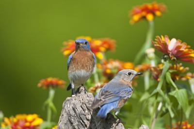 Eastern Bluebirds on Fence Post, Holmes, Mississippi, Usa-Richard ans Susan Day-Photographic Print