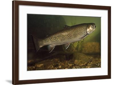 Eastern Brook Trout Swimming--Framed Photographic Print