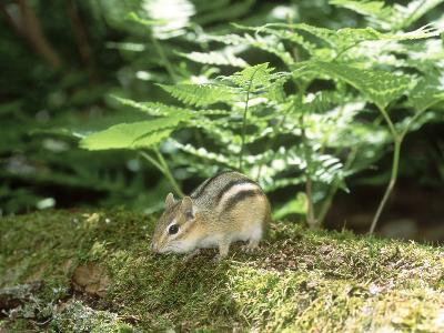 Eastern Chipmunk, Baxter State Park, USA-Roy Toft-Photographic Print