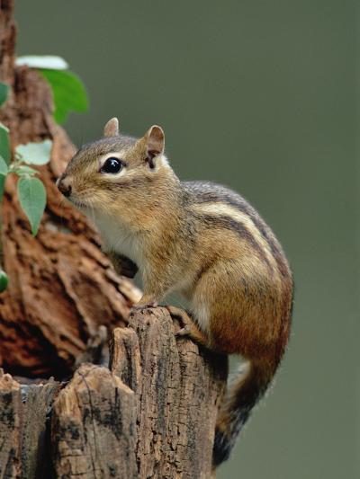 Eastern Chipmunk (Tamias Striatus) on Tree Stump, North America-Gerry Ellis-Photographic Print