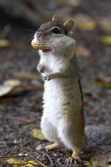 Eastern Chipmunk (Tamias Striatus) With Peanut In Mouth Pouch, Algonquin Provincial Park, Ontario-Ben Lascelles-Photographic Print