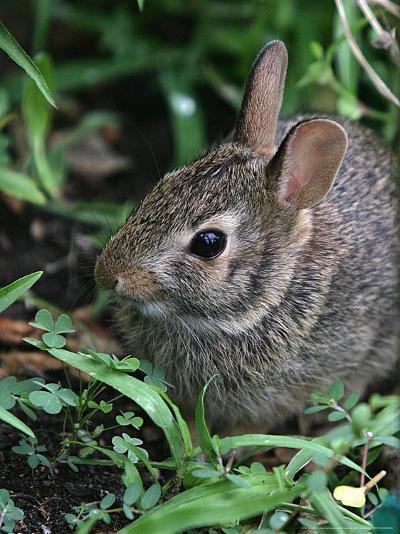 Eastern Cottontail Rabbit, Tyler, Texas-Dr. Scott M. Lieberman-Photographic Print