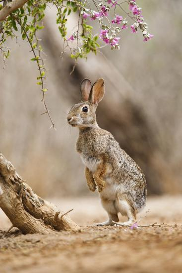 Eastern Cottontail Rabbit, Wildlife, Feeding on Blooms of Native Plants-Larry Ditto-Photographic Print