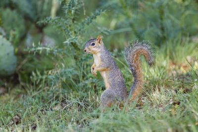 Eastern Fox Squirrel Foraging on Forest Floor-Larry Ditto-Photographic Print