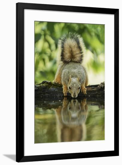 Eastern Fox Squirrel, Sciurus Niger, drinking, Hill Country, Texas, USA-Rolf Nussbaumer-Framed Premium Photographic Print