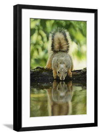 Eastern Fox Squirrel, Sciurus Niger, drinking, Hill Country, Texas, USA-Rolf Nussbaumer-Framed Premium Photographic Print