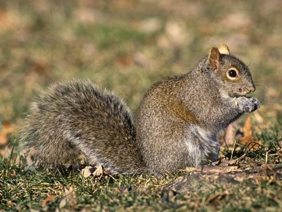 Eastern Gray Squirrel Eating a Seed (Sciurus Carolinensis), Eastern USA-Tom Ulrich-Photographic Print