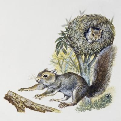 Eastern Gray Squirrel (Sciurus Carolinensis), Sciuridae--Giclee Print