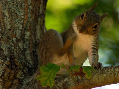 Eastern Gray Squirrel Scratching Itself in a Tree-Darlyne A^ Murawski-Photographic Print