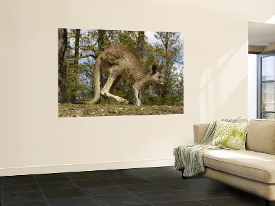 Eastern Grey Kangaroo at Queensland, Australia-Pete Oxford-Wall Mural