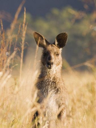 https://imgc.artprintimages.com/img/print/eastern-grey-kangaroo-geehi-kosciuszko-national-park-new-south-wales-australia-pacific_u-l-p7tsd00.jpg?p=0