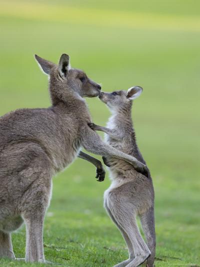 Eastern Grey Kangaroo, (Macropus Giganteus), Great Ocean Road, Anglesea, Victoria, Australia-Thorsten Milse-Photographic Print