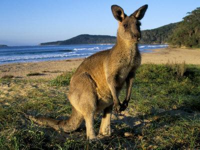 https://imgc.artprintimages.com/img/print/eastern-grey-kangaroo-on-beach-murramarang-national-park-new-south-wales-australia_u-l-p1u63f0.jpg?p=0