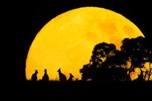 Eastern Grey Kangaroo Small Group Silhouetted