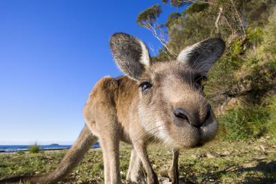 Eastern Grey Kangaroo Super Wide Angle Shot Of--Photographic Print