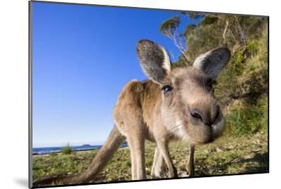 Eastern Grey Kangaroo Super Wide Angle Shot Of--Mounted Photographic Print
