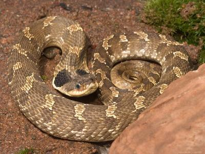 Eastern Hognose Snake Showing Excited Cobra-like Flaring of the Neck, Eastern US-Maresa Pryor-Photographic Print